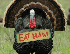 """humorous photo of a wild turkey carrying an """"eat ham"""" sign"""